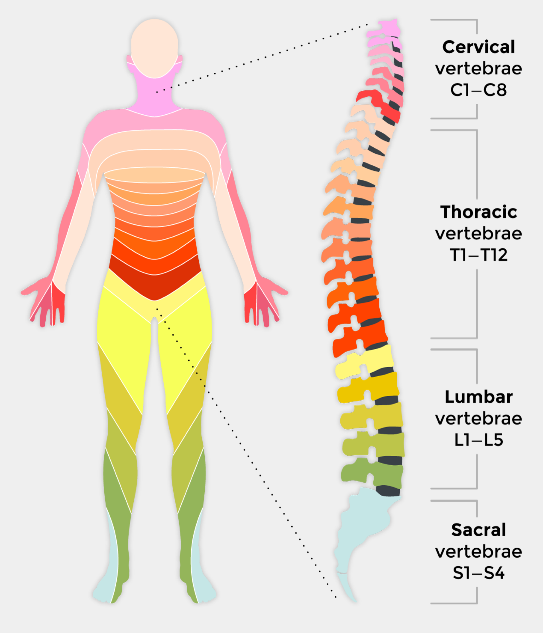 Spinal Cord Diagram